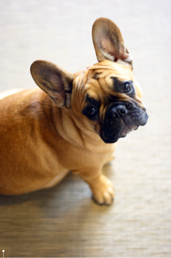 lucy the frenchie   via vmac+cheese