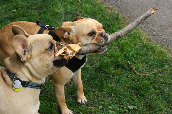 frenchies and a stick   via vmac+cheese