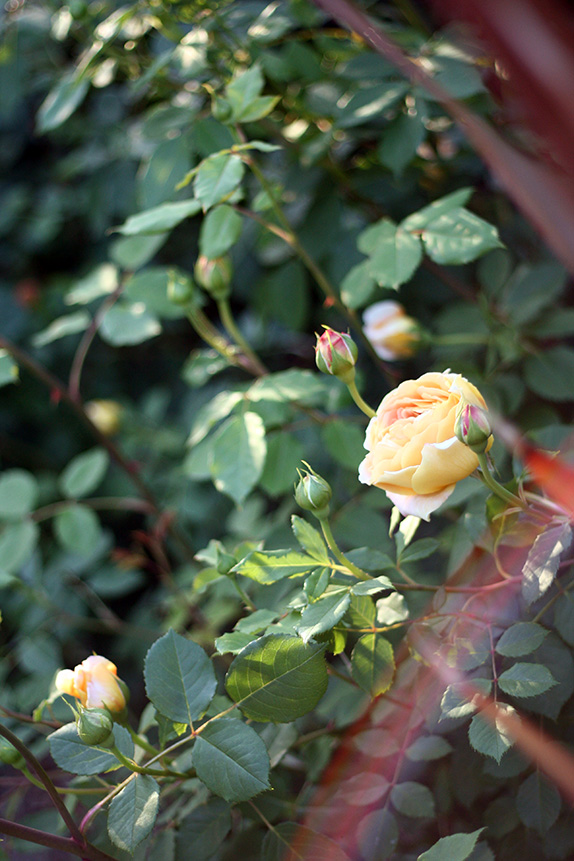 roses | via vmac+cheese